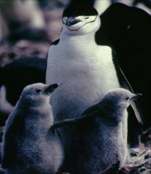 Chinstrap penguins (Image: BBC)