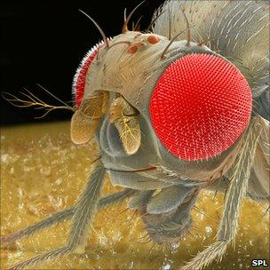 Fruit fly scanning electron micrograph