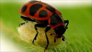 Ladybirds (Royal Society)