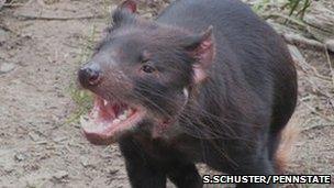 Tasmanian devil's ferocious bite (S.Schuster/PennState)