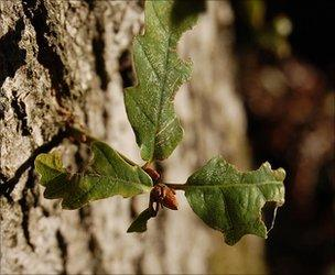 Oak shoot growing out of the main trunk (Image: BBC)