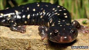 Black speckled salamander