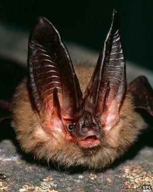 Virgina big-eared bat