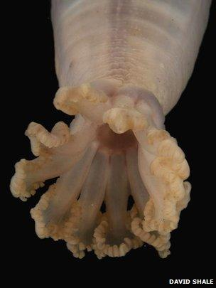 Sea cucumber (David Shale)