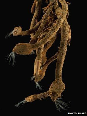 Stalked barnacle (David Shale)