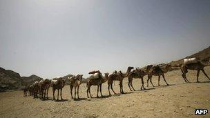 Camels carry salt in the Ethiopia's Afar region on 7 March 2007
