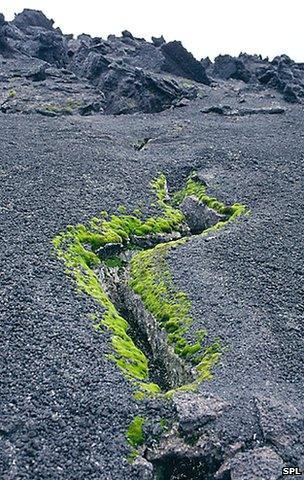 Lichen around a fumarole