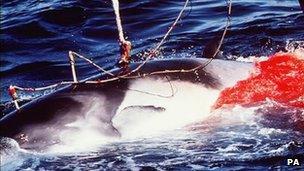 Minke whale harpooned by Japanese whalers (file photo)