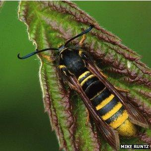 Moth that looks like a wasp