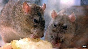 Rats nibbling discarded food in central London