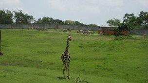 Giraffe in the African Plains section of Cuba's zoo