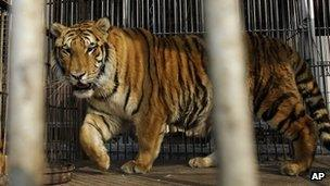 Tiger (generic file picture)