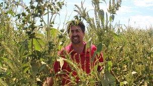 giant ragweeds