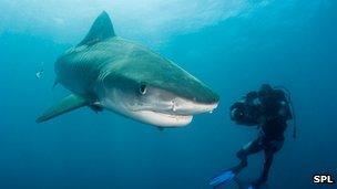 Tiger shark being filmed by diver
