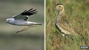 Hen harrier (left) and golden plover