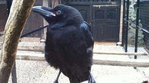 Raven Jubilee