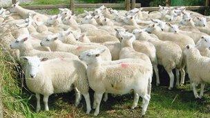 A herd of Easy Care lambs