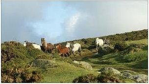 Pryder am ferlynod mynydd ym Mlaenau Gwent