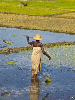 Indonesian rice paddy