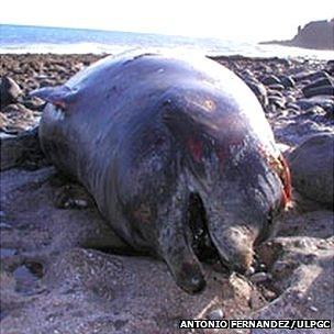 Whale stranding (Antonio Fernandez)