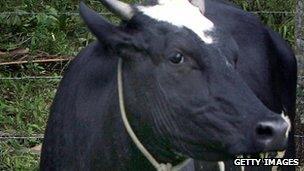 Cow in Brazil (file photo)