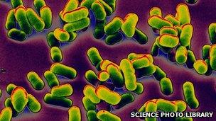Clusters of the bacteria that cause bubonic plague