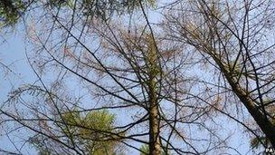 An affected larch tree