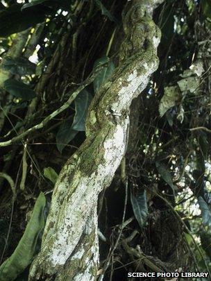 Ayahuasca tree