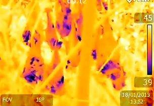 Flying foxes filmed with an infrared camera