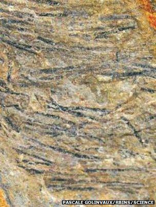 The researchers believe the dark areas on this dinosaur fossil are remains of the earliest feathers