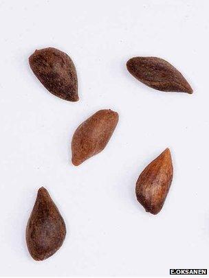 Spruce seeds (Image: Erkki Oksanen)