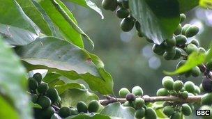 Coffee beans in Burundi