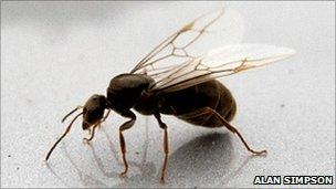 Flying ants stage annual mating ritual - BBC News