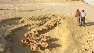Basilosaurus Isis fossil whale skeleton excavated in Wadi Hitan. Image: Prof Philip Gingerich