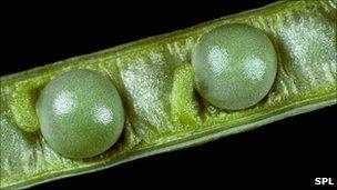 Canola seeds