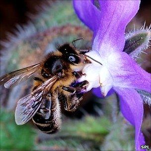 Bee on a flower (Image: SPL)