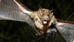 Vampire bat captured in Brazil, 2005