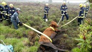 Firefighters rescue the cow from the bog