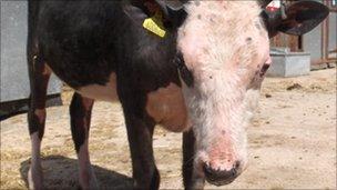 Harriet, the bald cow