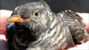 Released cuckoo