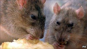 Rats nibbling on discarded food in central London