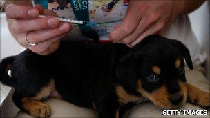 Puppy receiving injection