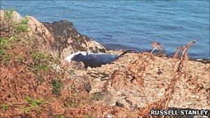 Dead minke whale found on beach at Pwllhelli