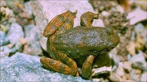Foothill yellow-legged frog, copyright Pierre Fidenci