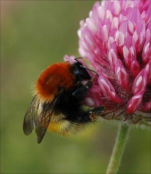 Moss carder bumblebee (Image: BCT)