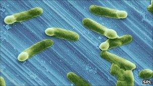 Clostridium difficile sporulating on a stainless steel surface