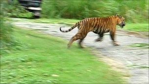 A photo taken of the captured tiger in September (photo: Wildlife Trust of India)