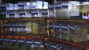 A variety of cannabis on display in a Dutch coffee shop