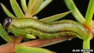 Juniper sawfly larvae. Pic: Alan Watson