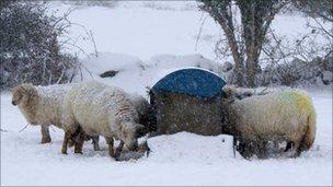 Sheep in the snow in Gwynedd